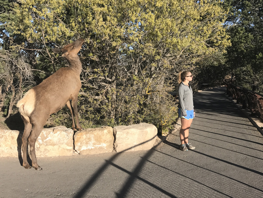 Grand canyon elk visitor